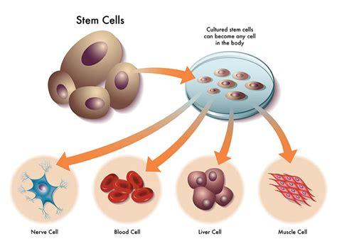 Los beneficios de las células madre | El blog de Meritxell