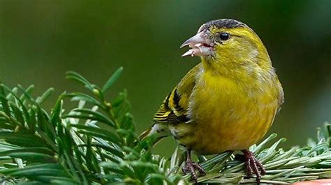 Los mejores pájaros cantores para alegrar tu casa ...