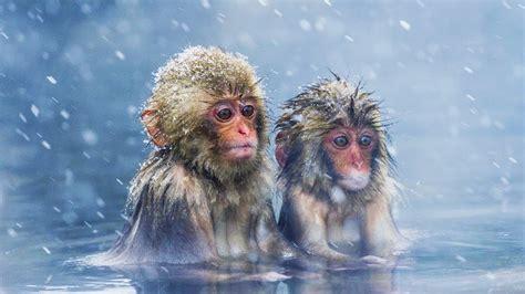¡LOS MONOS DE LAS NIEVES DE JAPÓN! ???????? ¿SE BAÑAN CON CLIMAS ...