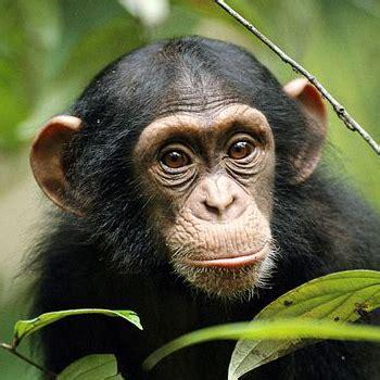 Los monos son más hábiles de lo que se pensaba
