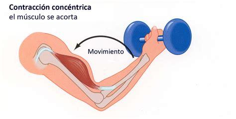 Los músculos o grupos musculares más importantes a la hora ...