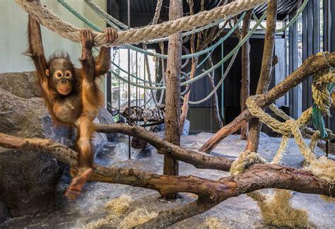 Los orangutanes en el Zoo de Barcelona   diariodesign.com