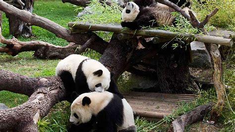 Los osos panda del Zoo de Madrid se reúnen por primera vez ...