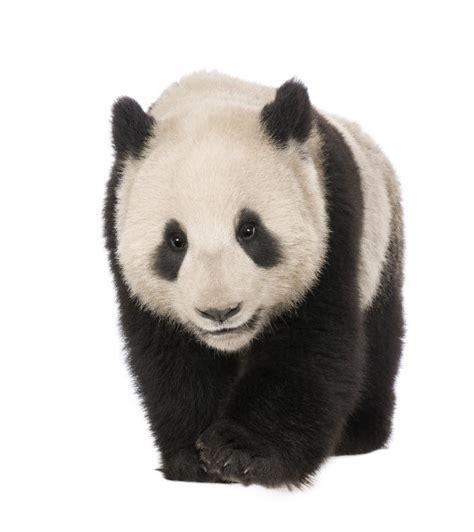 Los osos panda en peligro de extinción: 23 Imágenes de ...
