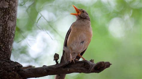 Los pájaros cantan como los humanos