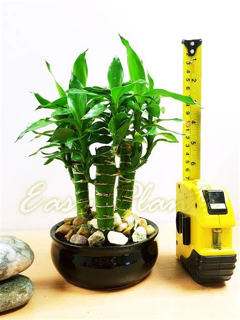 Lotus Bambú Planta De Interior Tubus pot Evergreen Casa ...