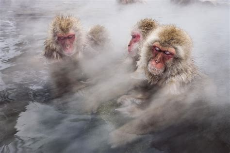 Macacos japoneses, los monos de las nieves