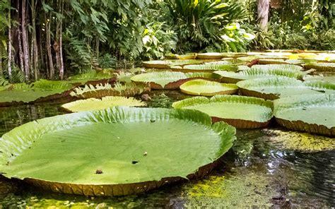 Maior planta aquática do mundo | Gigantes do Mundo