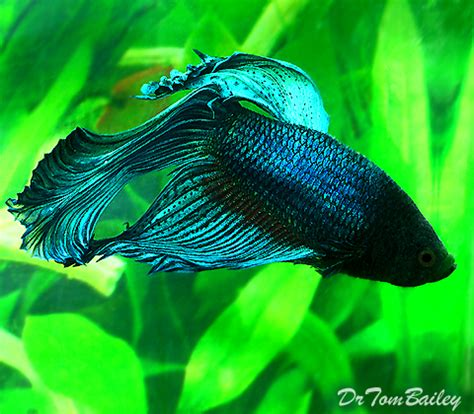Male Betta for Sale - AquariumFish.net