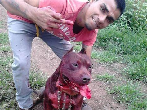 Maltrato animal extremo   Pelea Pitbull   Solidaridad ...