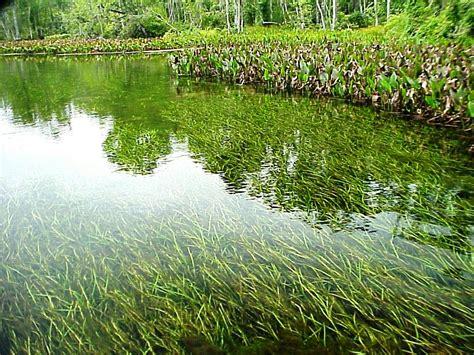 Managing Aquatic Plants in Farm Ponds » Panhandle Agriculture