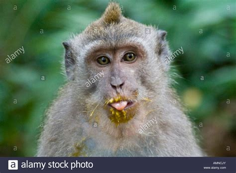 Mango on Face of Long Tailed Macaques Macaca Fascicularis ...