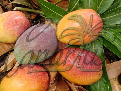 Mango Varieties Sold By Canarius For Mediterranean And ...