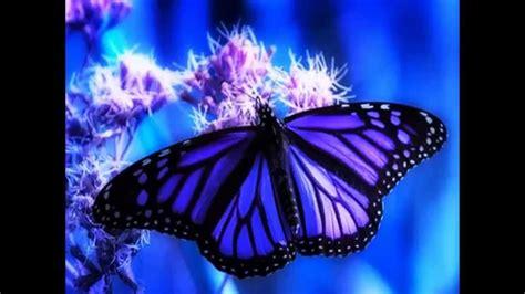 mariposa hermosa morfo azul - YouTube