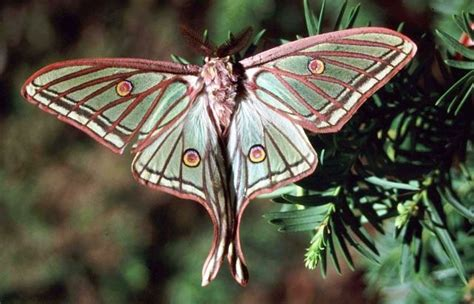 Mariposa isabelina | La crónica verde