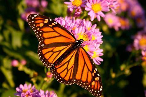 Mariposa Monarca :: Imágenes y fotos