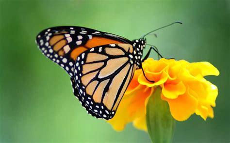 Mariposa Monarca - Información y Características