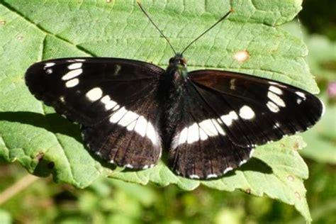 Mariposa NINFA BOSCANA O DEL BOSQUE  Limenitis camilla