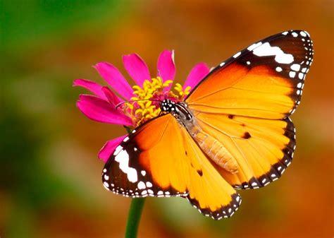 Mariposa tigre :: Imágenes y fotos