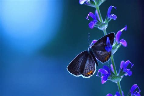 Mariposa y flor azules (21655)