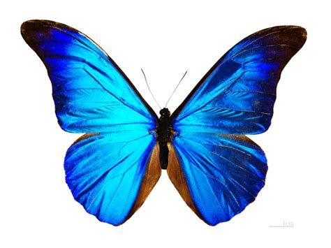 Mariposas Gigantes Especies De Mariposas Grandes | serie ...