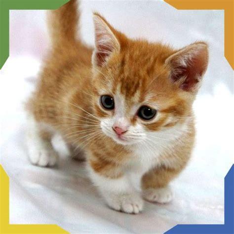 Más de 25 ideas fantásticas sobre Gato Munchkin en ...