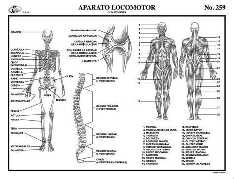 Más de 25 ideas increíbles sobre Aparato locomotor en ...