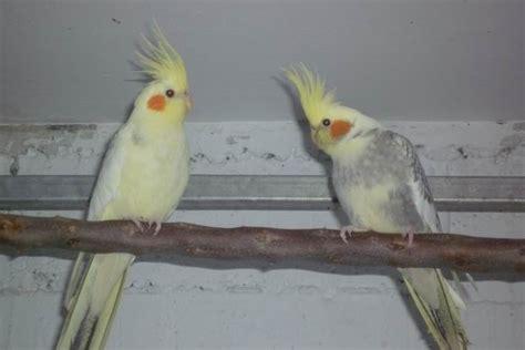 Más de 25 ideas increíbles sobre Ninfas aves en Pinterest ...