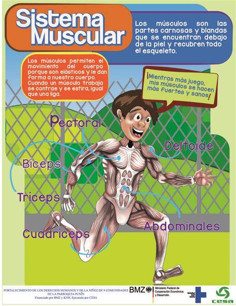 Más de 25 ideas increíbles sobre Sistema muscular en ...