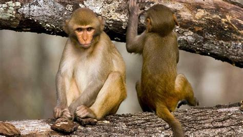 Más de la mitad de los monos están en peligro de extinción ...
