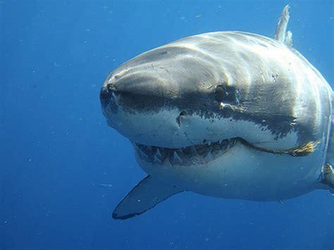 Más información sobre el tiburón blanco | Informacion ...