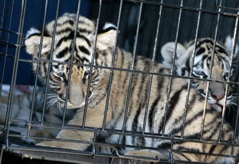 McAllen authorities charge woman in alleged tiger sale ...
