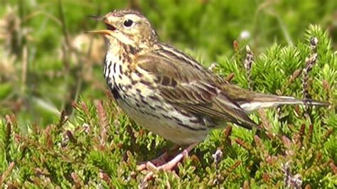 Meadow Pipit Birds Singing and Chirping a Beautiful Bird ...