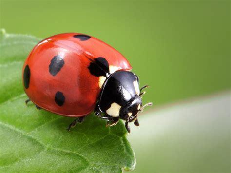 Meaning of Ladybug Spirit Animal - Wild Gratitude
