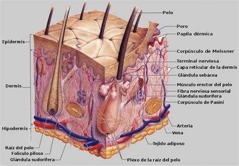 Medicina Estética Delectare: La piel y sus partes