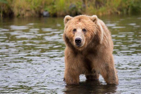 Meet the giant brown bear of kodiak island   About Wild ...