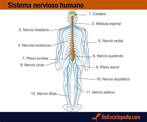 Mejores 48 imágenes de Sistema Nervioso en Pinterest ...