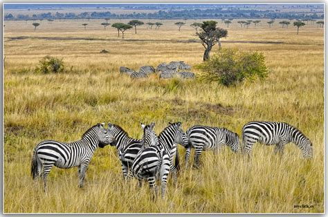 MEMORIAS DE AFRICA CEBRAS EN EL MASAI-KENIA Imagen & Foto ...