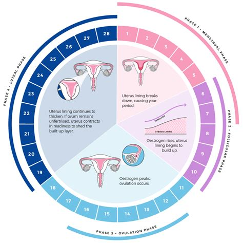 Menstrual Cycle Phases | www.pixshark.com - Images ...