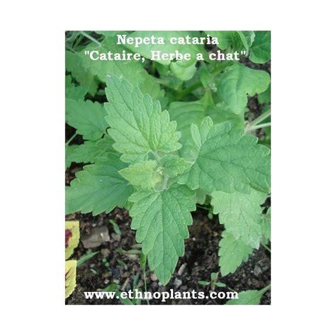 Menta de Gatos, Hierba gatera Nepeta cataria planta para ...