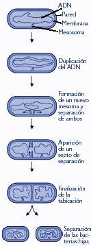 Métodos de reproducción en procariotas y eucariotas ...