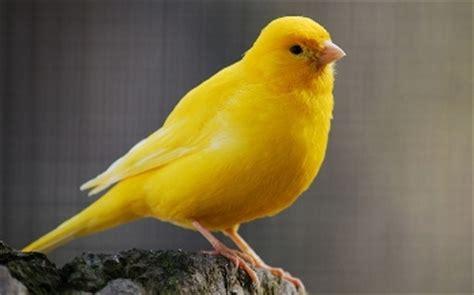 mi canario ha dejado de cantar   Mascota Doméstica