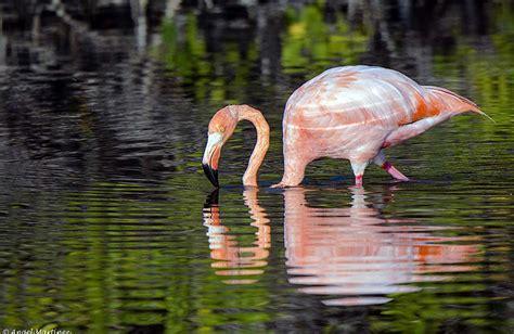 Migración de flamingos rosados a México : Los Flamencos ...