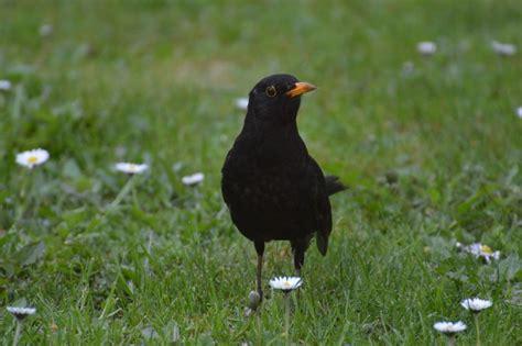 Mirlo | Características, hábitat, alimentación ...