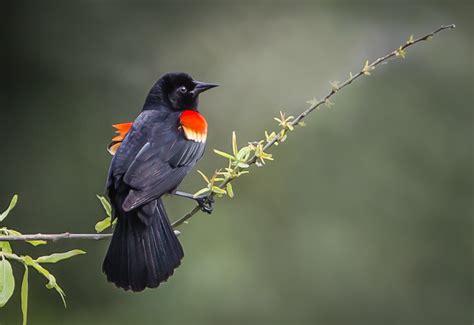 Mirlo de alas rojas - La web de Ainhoa