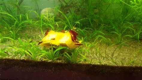 Mis Goldfish y acuarios plantados con gambas   YouTube