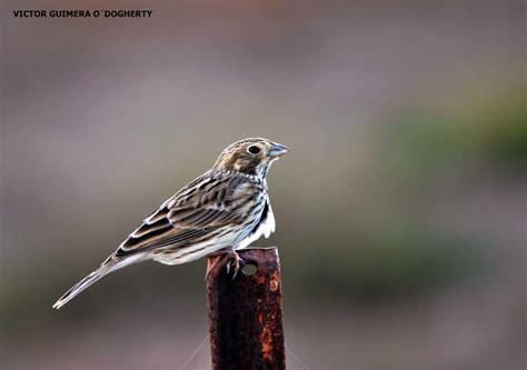 Mis imágenes de aves: EL TRIGUERO
