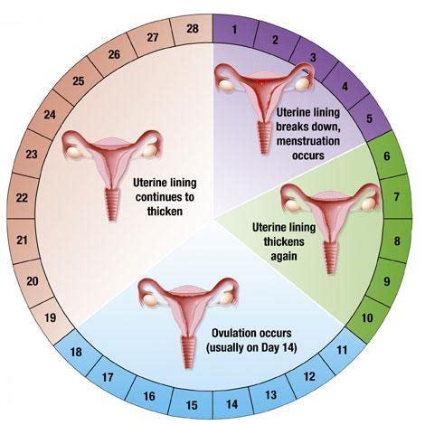 Mitos sobre la menstruación - 28 días