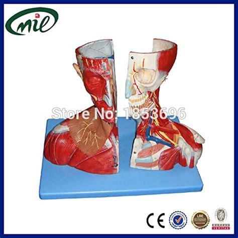 Modelo Anatómico Sistema Muscular Mimic Con Los Músculos ...