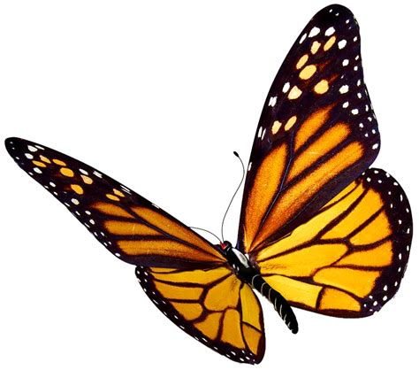 Monarch Butterfly clipart transparent background - Pencil ...